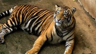 Szeretett tigrise ölte meg a gondozónőt Angliában