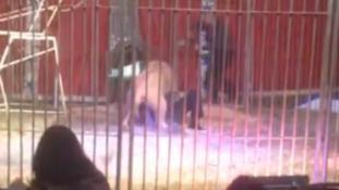 A cirkuszi oroszlán majdnem átharapta az idomár torkát – videó
