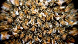 Több száz méh lepte el a Piazza Fiumét Rómában