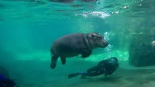 Fiona, az öthónapos vízilóbébi úszni tanul – videó