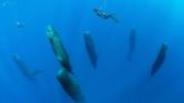 Ritka felvételek – így alszanak a nagy ámbráscetek a tenger mélyén