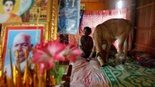 Ő a férjem – állítja egy borjúról a kambodzsai özvegy – videó