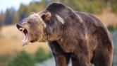 Több száz birkát kergetett a halálba egy medve a Pireneusokban