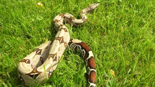 Katasztrófavédők vágták le a kígyó fejét gazdája arcáról – videó