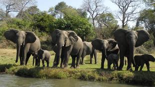 500 elefántot telepítenek át Malawiban, hogy megmentsék őket a vadorzóktól – videó