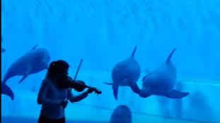 Delfinek tánca hegedűszóra – videó