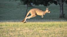 Meggyűlik a Volvo önjáró autójának a baja a kengurukkal – videó
