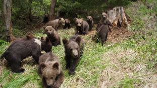 Hatalmas medvevadászat indul Erdélyben
