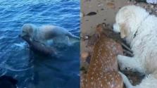 Őzgidát mentett ki a vízből a hős kutya – videó