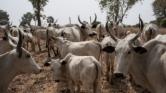 Véres harcok a marhapásztorok és a parasztok között Nigériában