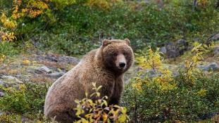 Vegetáriánusokká válhatnak a grizzly medvék a klímaváltozás miatt