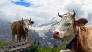Élménydömping a nyaralás alatt – teheneket is kölcsönözhet egy svájci szállodában