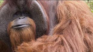39 évesen meghalt Chantek, a jelbeszédet értő orángután
