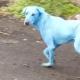Kék kutyák Indiában – videó