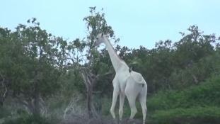 Fehér zsiráfokat kaptak lencsevégre Kenyában – videó