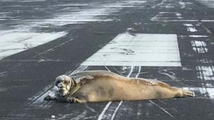 Egy fóka miatt bénult meg a közlekedés egy alaszkai repülőtéren
