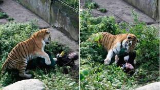 Gyerekek szeme előtt támadt gondozójára egy szibériai tigris