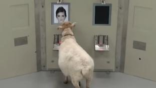 A bárányok is felismerik az emberi arcokat – videó