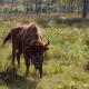 Veszélyben az egyetlen európai erdő, ahol még vadbivalyok élnek – videó