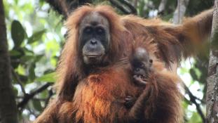 Szakállas nőstények – új orángutánfajt fedeztek fel Szumátrán – videó
