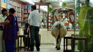 Vadkelet, avagy vallásháború a szent tehén körül Indiában
