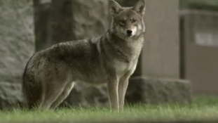 New York külvárosainak lakóit fenyegeti egy új hibrid farkasfajta