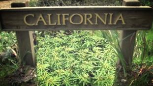 Kalifornia: startra készen a szabad marihuánakereskedelem