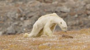Klímaváltozás: csontsovány jegesmedve élelmet keres – videó