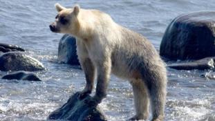 Kifehéredtek a barnamedvék a Kuril-szigeteken