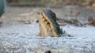 Mit csinál az aligátor, ha befagy a víz? – videó