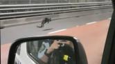 Kengurut üldöz a rendőrség – videó