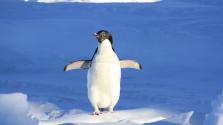 Pingvin a gumicsónakban – videó