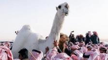 Elment az Arab-öböl legszebb és legdrágább tevéje
