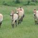 Tévedtek a tudósok: nincsenek már vadlovak – videó
