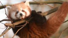 A vörösesbarna panda a vadorzók új célpontja – videó
