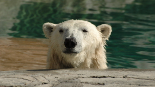 Kipusztul a jegesmedve? – videó