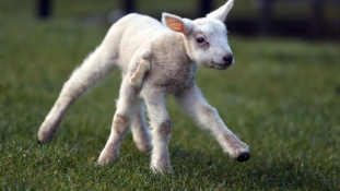 Ötlábú bárány Skóciában