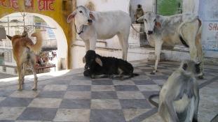 Katasztrófa fenyegeti a világ legnagyobb tejiparát, mert nem szabad levágni a teheneket