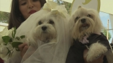 Esküvő kutyamódra – videó