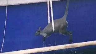 Kenguru a kikötő vizében – videó