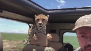 Ilyen az, amikor a szafaritúrán beugrik egy gepárd a hátsó ülésre