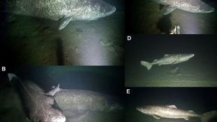 Akár 500 évig is élhetnek: ritka felvételek a titokzatos grönlandi cápákról