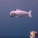 Robothal a tengerek kutatására – videó