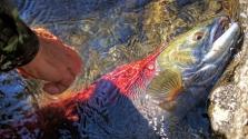 Komoly veszélyek fenyegetik a vándorló halakat
