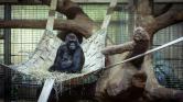 Gorillamama szül – videó
