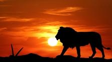 Zeusz, a fehér oroszlán esete a meglepett szafariutasokkal – videó