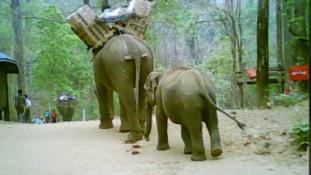 Menekülés elefántháton – videó