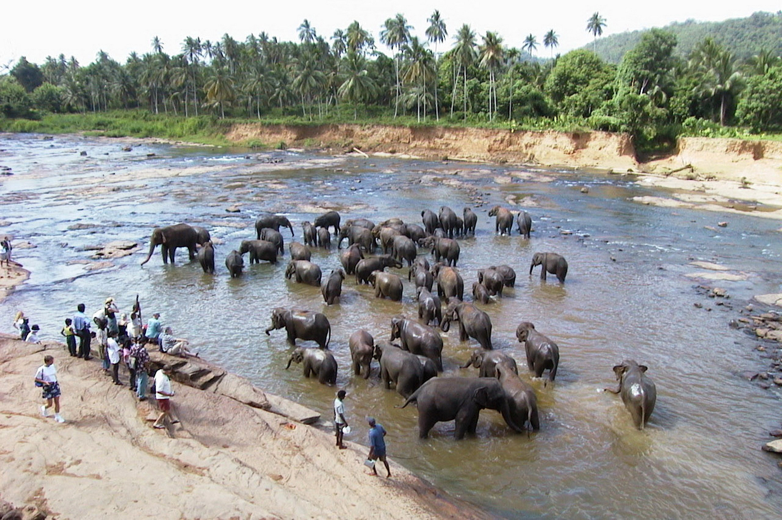 herd-of-elephants-washing-in-the-river-in-sri-lanka