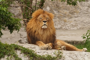 lion-2892786_960_720