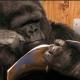 Meghalt a világhírű gorilla, aki Robin Williams barátja volt